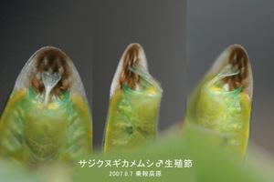 Sazikunugiseishoku001