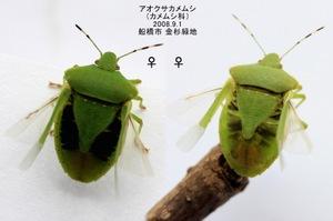 Aokusakamemusimesumesuflying6637921