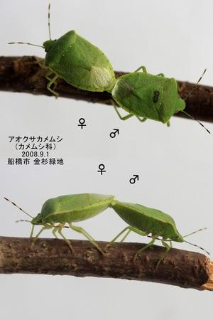 Aokusakamemusipear267676770