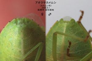 Aokusakamemusiseishokusetu92349244