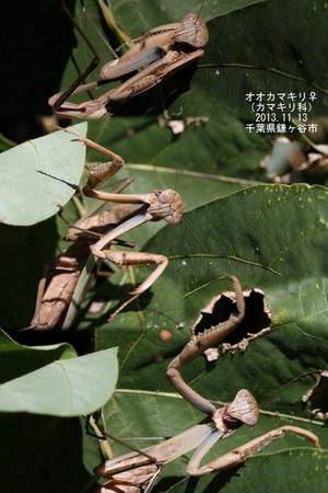 Ookamakirimesufieldikakunopouzu3122